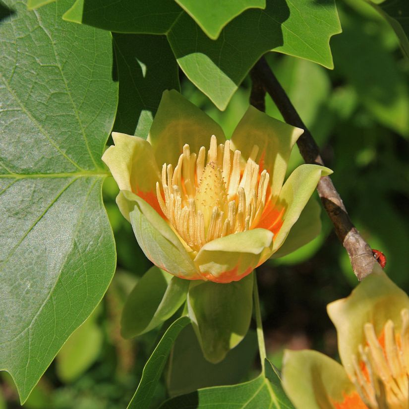 Liriodendron_tulipifera_tulip_close